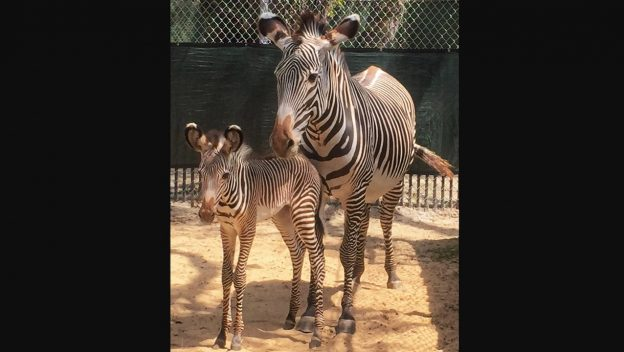 Have You Seen the Two Baby Zebras Born Recently at Animal Kingdom?